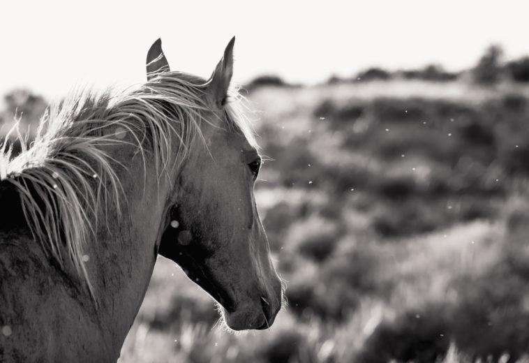 Stallion at Sand Wash Basin