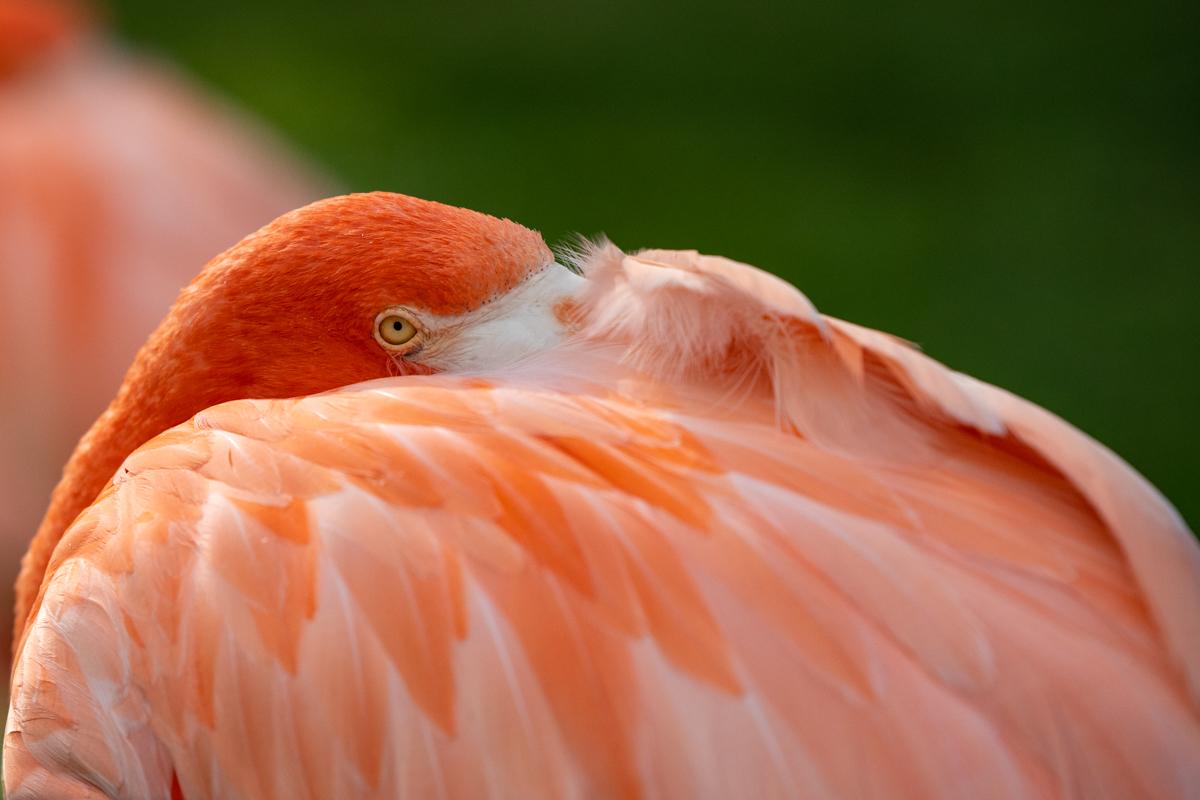Bashful Flamingo